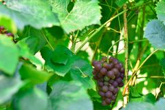 A young bunch of red grapes growing on a bush among the leaves stock images