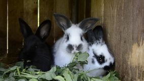 Young bunnies chew leaves in a shed. A group of small colorful rabbits family feed on barn yard. Easter symbol