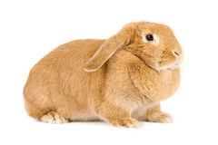 Young bunny Royalty Free Stock Photo