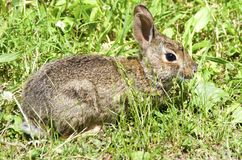 Young Bunny. A young eastern cottontail bunny rabbit in the grass Stock Photography