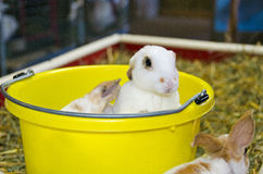Young bunny in pail. Young bunnies in bright yellow pail royalty free stock photography