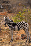 Young Burchell's Zebra. A young burchell's zebra standing broadside Royalty Free Stock Image