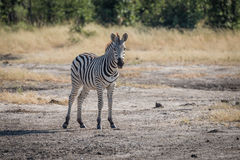 Young Burchell's zebra standing staring at camera Stock Photography