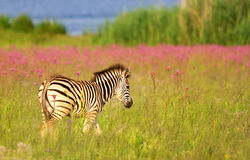 Young Burchells Zebra Royalty Free Stock Photography