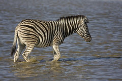 Young Burchells zebra walking in waterhole Stock Photo
