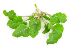 Young burdock Royalty Free Stock Image