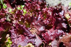Young burgundy lettuce growing on vegetable bed. Young burgundy lettuce growing on a vegetable garden patch. Cultivation hydroponic green vegetable in farm plant stock images