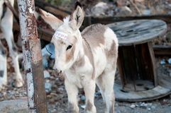 Young burro. Chewing on a piece of wire Royalty Free Stock Photography