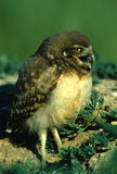 Young Burrowing Owl Royalty Free Stock Photo