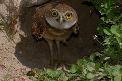 Young burrowing owl. A young burrowing owl ( Athene cunicularia ) seems surprised to see a photographer at the door stock photos