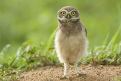 Young burrowing owl in Brazil. Juvenile Burrowing Owl (Athene cunicularia) standing on the ground in Palmital, western Brazil, by Hal Brindley Stock Photos