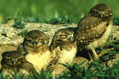 Young Burrowing Owls. A group of four young burrowing owls stand just outside burrow Royalty Free Stock Photography