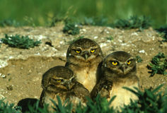 Young Burrowing Owls Stock Photography