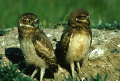 Young Burrowing Owls Stock Photos