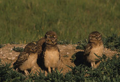 Young Burrowing Owls. A group of young burrowing owls stand just outside burrow Royalty Free Stock Photo
