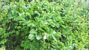 Young bush of a dog rose without fruits. Green rosehip leaves sway in the wind. Spring stock video