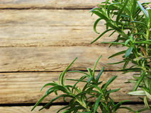 Young bush of fragrant rosemary. Planted in early. Autumn Stock Photos
