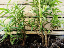 Young bush of fragrant rosemary. Planted in early. Autumn Royalty Free Stock Photography