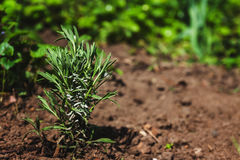 Young bush of lavender in the earth, daylight, spring, garden.  stock image