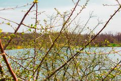 A young bush in nature, growing along the river `Grushevka`, with the green light of nascent leaves. Spring, spring landscape in t Royalty Free Stock Image