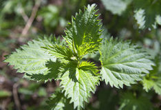 A young bush of nettles Stock Image