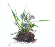 Young bush pansies, violets, with flowers, piece of land and roo Stock Photo