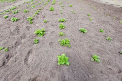 Young bushes of potatoes on the ground Royalty Free Stock Photography