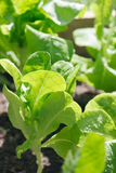 Young butter lettuce Stock Photo