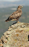 Young buzzard resting on the rock Royalty Free Stock Images