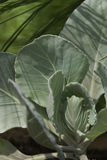 Young Cabbage. A young head of cabbage with shadows of neighboring plants Stock Photos