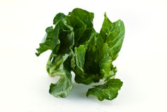 Young cabbage Royalty Free Stock Images