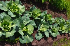 Young cabbage on the garden bed stock photography