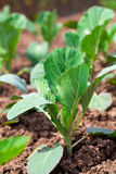 Young cabbage growing Royalty Free Stock Photography