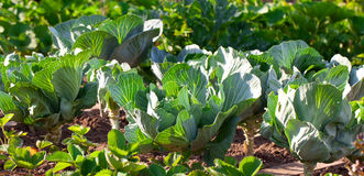 Young cabbage growing Royalty Free Stock Photo