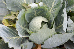 Young cabbage heads.Closeup fresh green cabbage in vegetable gar Stock Photography