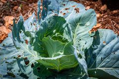 Young cabbage leaves growing in field with insect holes stock photography