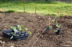 Young cabbage plants ready to be planted. stock photo