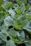 Young Cabbage Plants Royalty Free Stock Photography