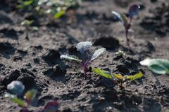 Young cabbage seedling growing in dark earth soil stock photography