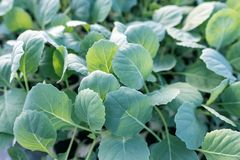 Young cabbage seedlings. Cabbage seedlings greenhouse. Royalty Free Stock Photo