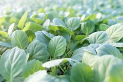 Young cabbage seedlings. Cabbage seedlings greenhouse. Royalty Free Stock Photos