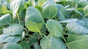Young cabbage seedlings. Cabbage seedlings greenhouse. Stock Photo