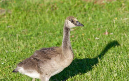 Young cackling goose is eating the grass on the sunny evening Royalty Free Stock Photography