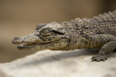 Young caiman. A side view of a young caiman Royalty Free Stock Photo
