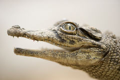Young caiman Stock Image