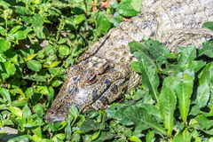Young Caiman in Bolivia Stock Photography