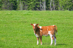 Young Calf. A young calf in a spring meadow Stock Images