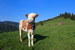 Young calf. A cute young calf in a spring meadow Stock Image