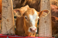 Young Calf Stock Photos