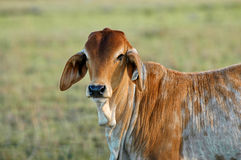 Young calf. A young brahman calf found grazing in the pasture as the early morning sun rises for the day royalty free stock photos